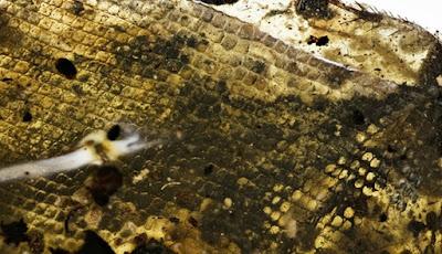 Fosil Bayi Ular Prasejarah Ini Terjebak Dalam Getah Pohon