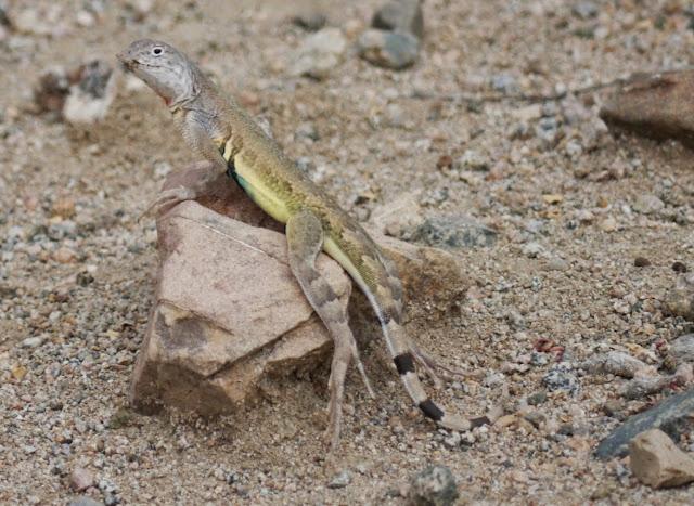 zebratail lizard