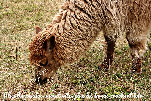 lama broutant de l'herbe