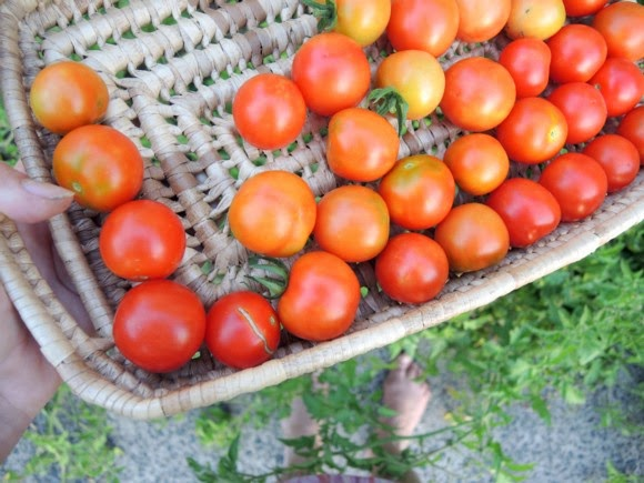 katiecrackernuts.blogspot.com || picking spring tomatoes