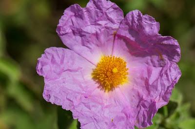 [Cistaceae] Cistus criticus - rock rose