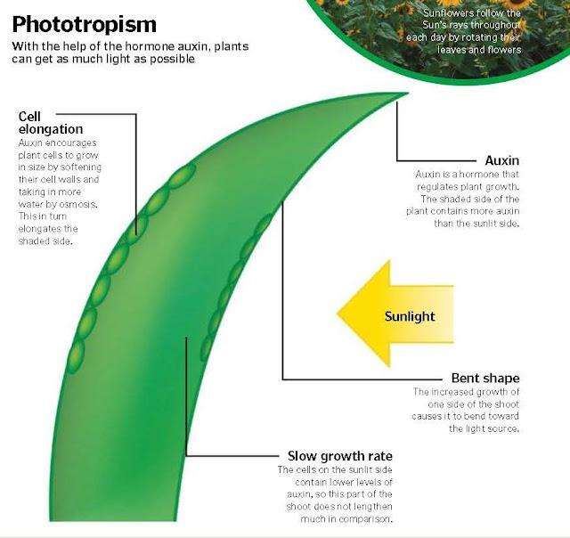 How Do Plants Grow Towards Light?