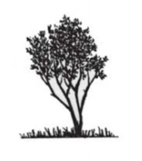 Mengenal Mangrove : Avicennia alba Bl.
