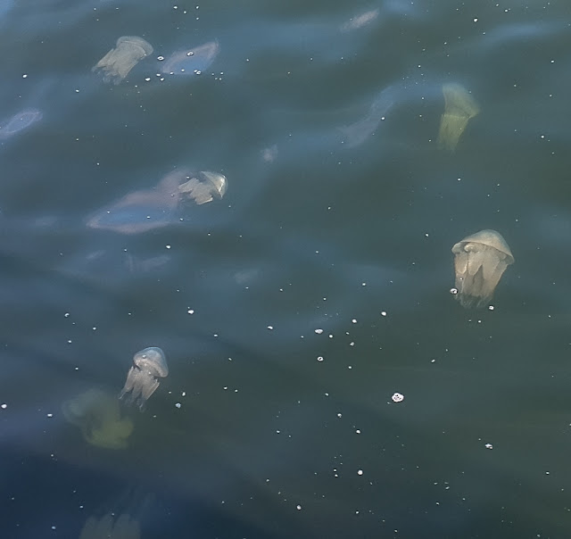 Photo of some of the dozens of smaller jellyfish