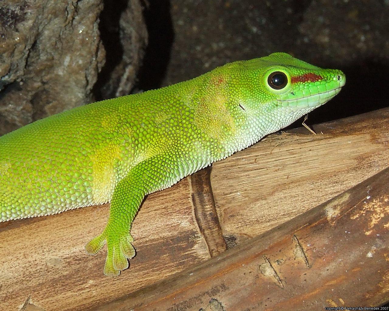 Lizard - HD Wallpapers | Earth Blog