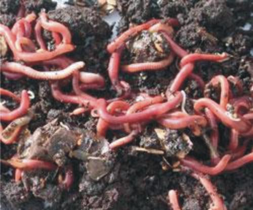 Review The Business Worms: Lumbricus Rubellus (Eisenia ...