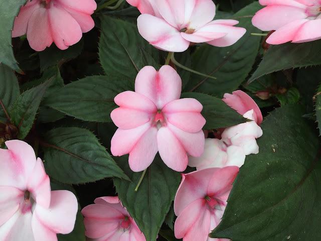 pinke Sommerblumen