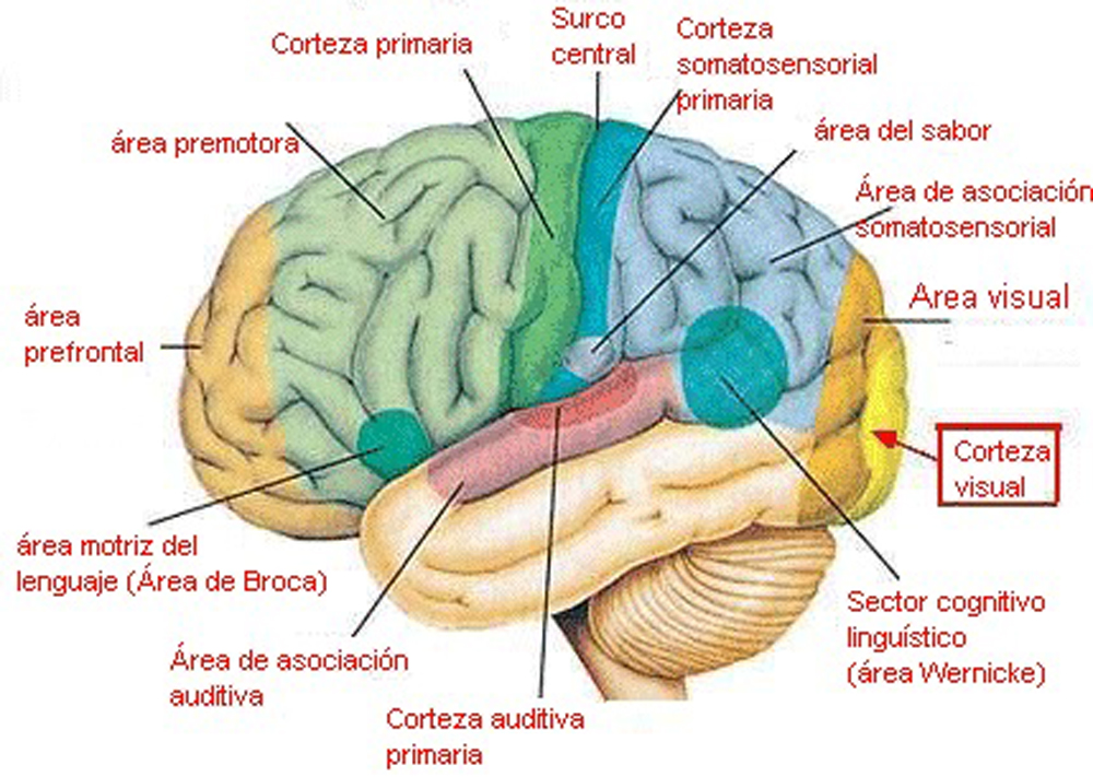 Moderno Diagrama De Cerebro Humano Friso - Anatomía de Las ...