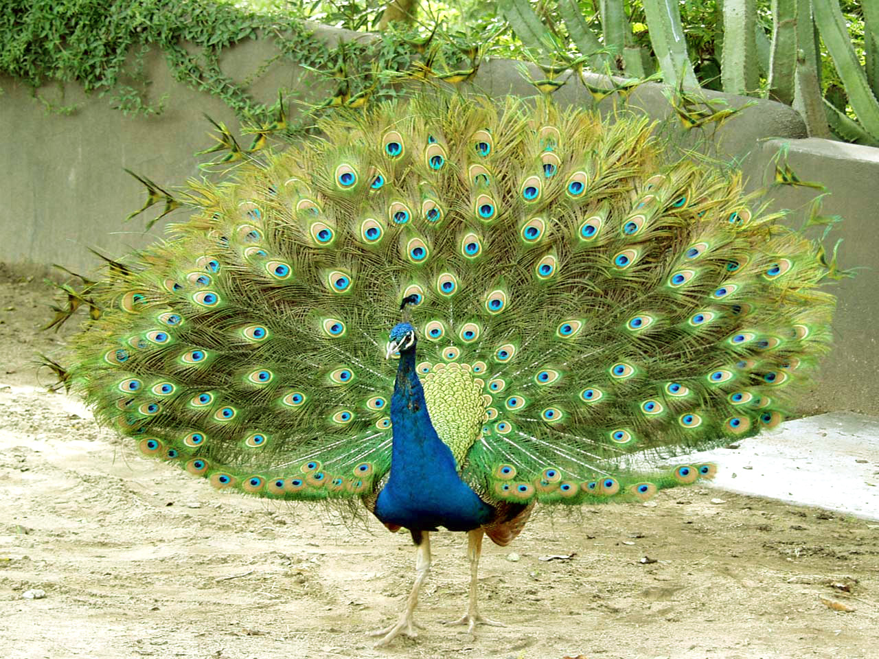 Top 28 Most Beautiful And Sweet Peacock Wallpapers In HD ...