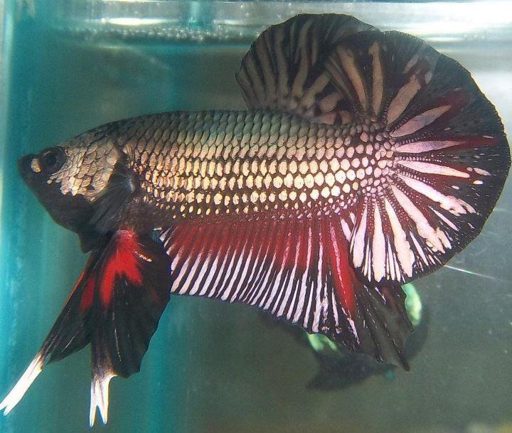 MATRAMAN BETTA: Budidaya Ikan Cupang Hias - Usaha Kecil ...