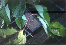 Ncsu Pdic Poinsettia Some Common Diseases Of The