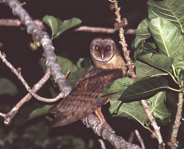 Informasi wacana Burung Hantu Serak Sulawesi Mengenal Burung Hantu Serak Sulawesi