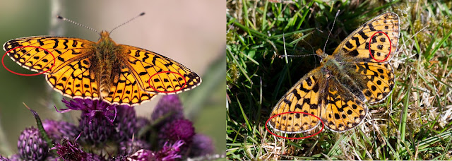 Small Pearl-bordered and Pearl-bordered Fritillary comparison