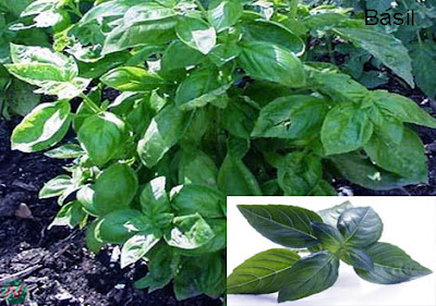 basil, basil leaves