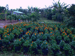 Orange Blossom Flower Mexican Marigolds Seeds At Munduk Village, Buleleng, Bali, Indonesia