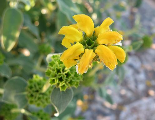 Salvia amarilla (Phlomis fruticosa) flor silvestre amarilla