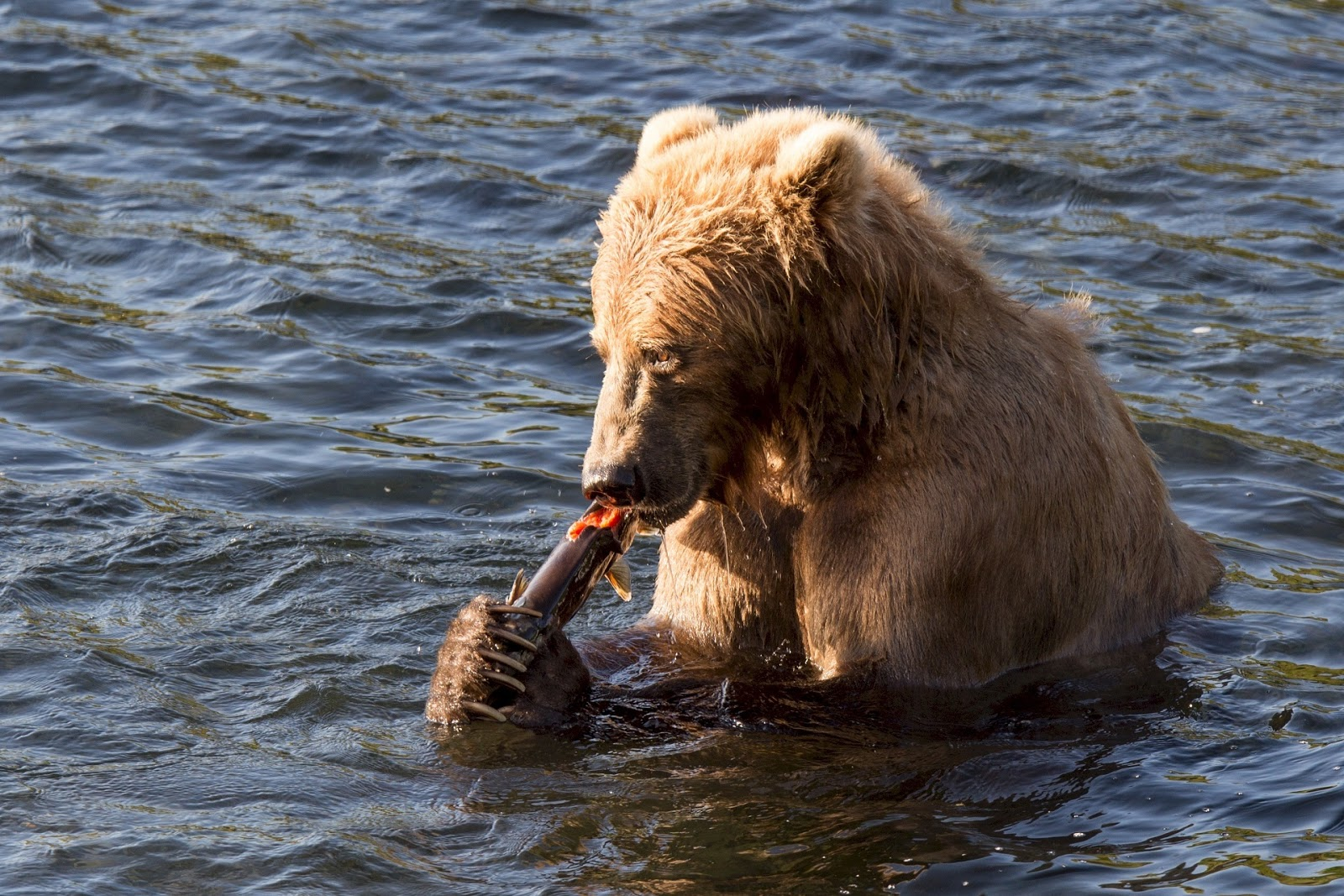Picture of Kodiak bear eating fish.