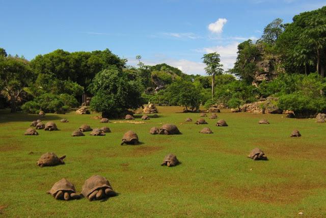 Tortues géantes dans la réserve Francois Leguat