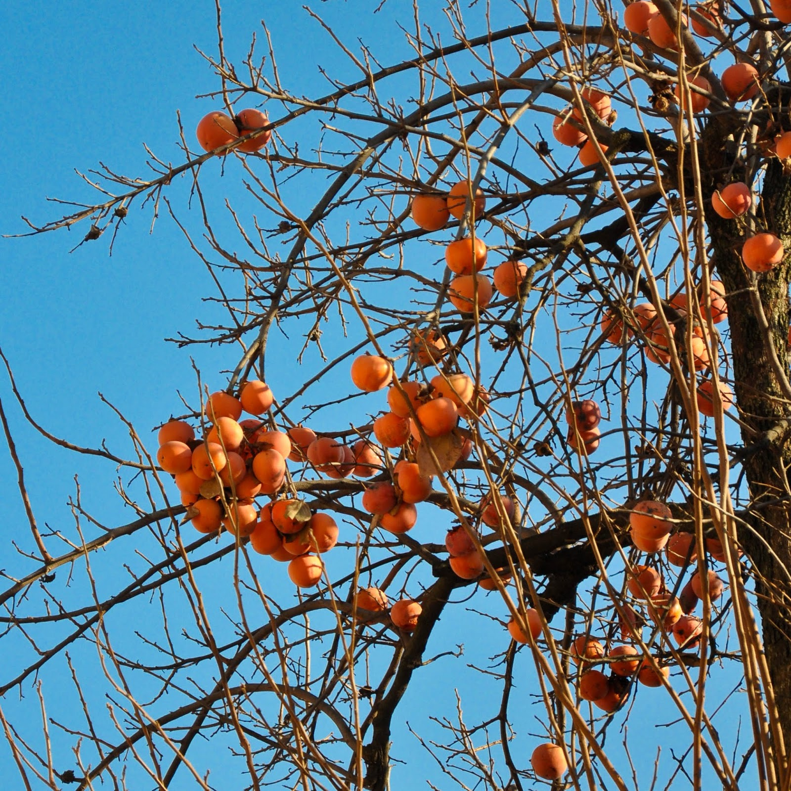 Persimmon tree, Vicenza, Italy