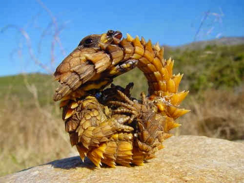 Armadilllo Girdled Lizard- Amazing picture