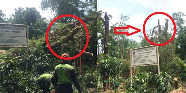 Aneh bin Ajaib! Siapa Mengira Pohon di Hutan Kota Srengseng, Jakbar Ini Berdiri Lagi Setelah Tumbang...