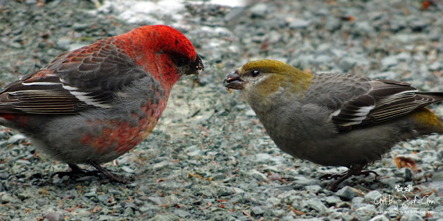 Newfoundland Birds Pine Grosbeaks