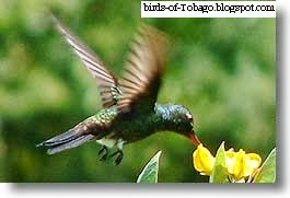 Copper-rumped hummingbird (Amazilia tobaci) Birds of Tobago