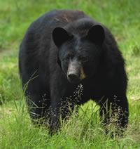 Rabid Black Bear Found Dead in NC