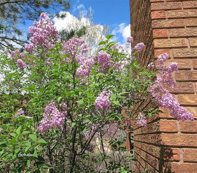 lilacs, Syringia