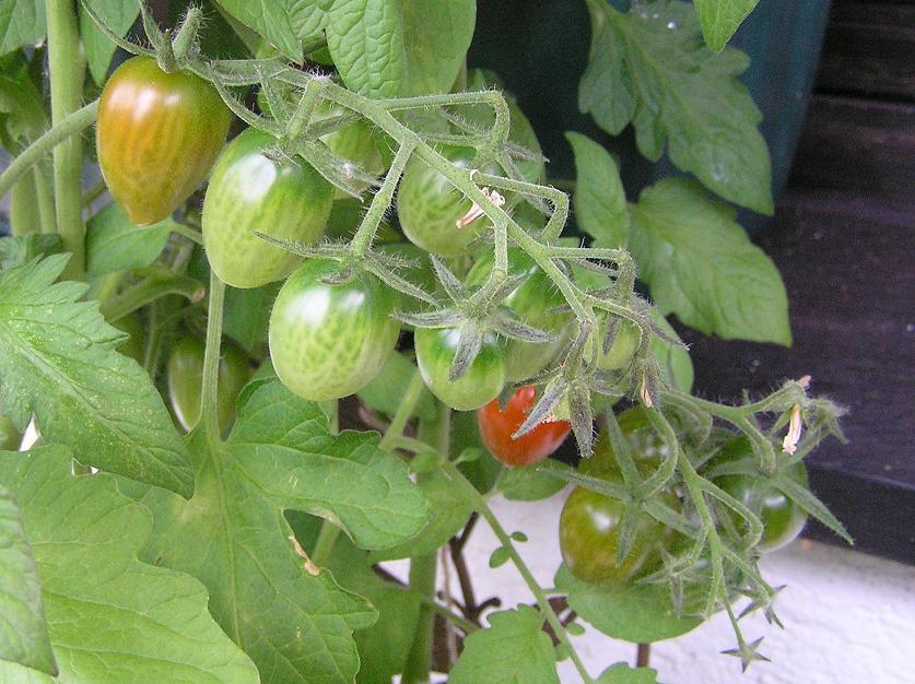 heike querbeet tomaten tagebuch teil 3. Black Bedroom Furniture Sets. Home Design Ideas