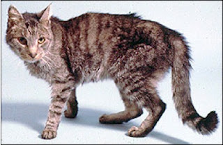 Feline Hyperthyroidism (Overactive Thyroid) Symptoms and Treatments