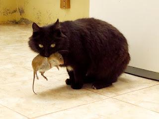 Dlaczego kot męczy myszy