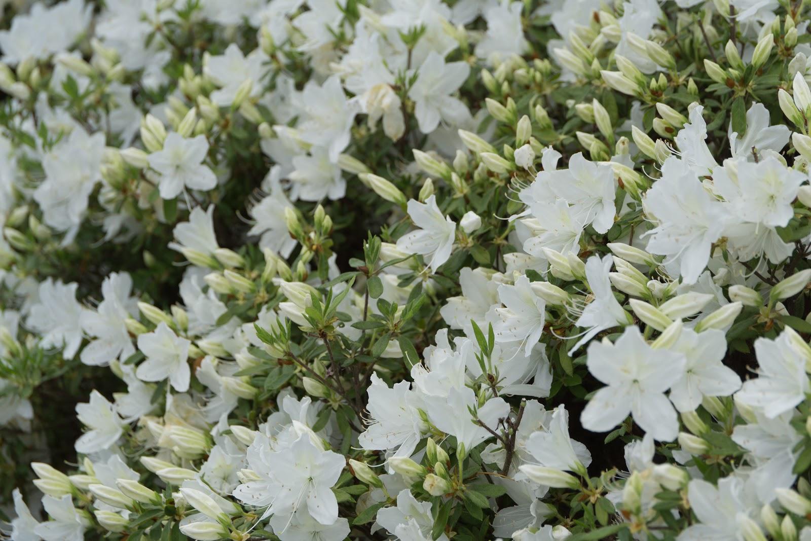 花と蕾の混じり合う白琉球
