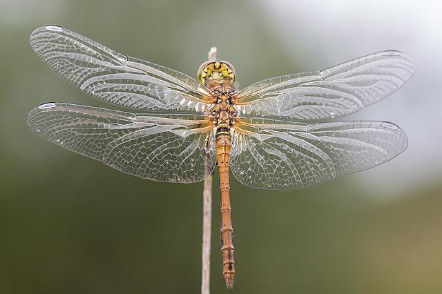 Glassy wings of Common Darter