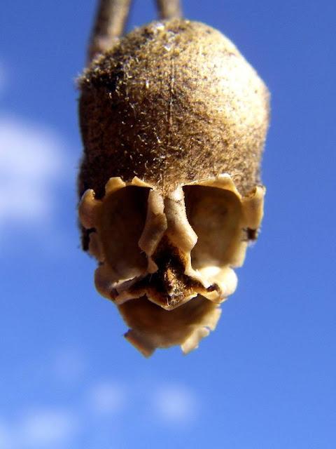 魔力がある?まるでドクロに見える植物キンギョソウとは?【n】
