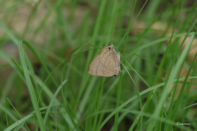 雞南山散步,墾丁小灰蝶