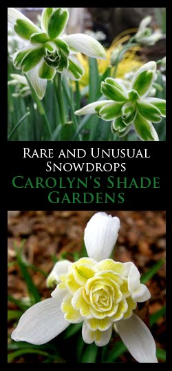 A Passion for Snowdrops