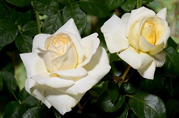 Ambiente сорт розы фото