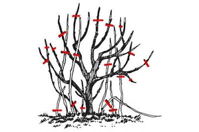 Обрізка і омолодження чорниці садової