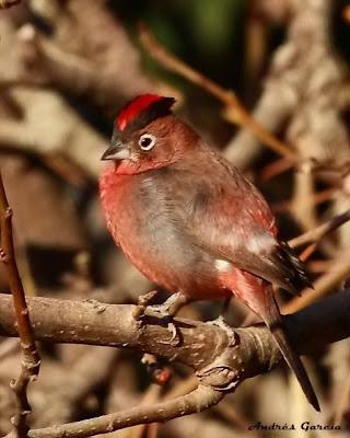 aves de Argentina Brasita de fuego Coryphospingus cucullatus
