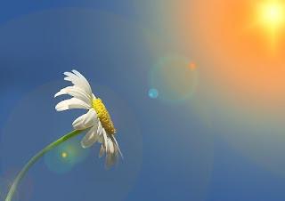 foto di margherite con sole