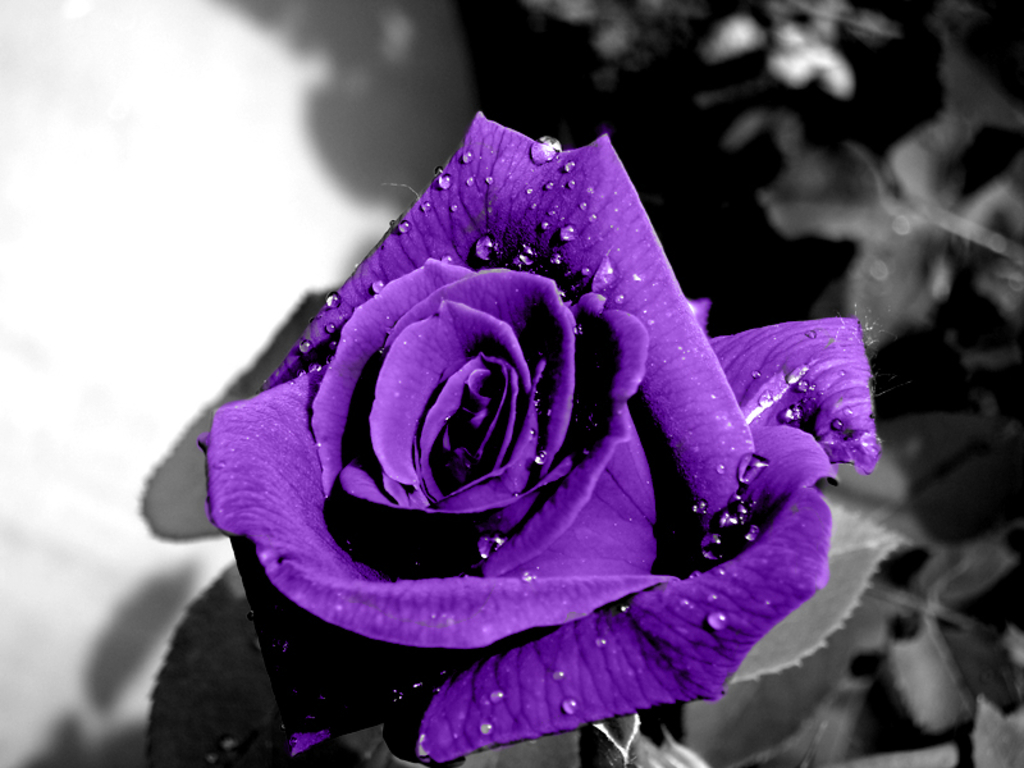 Wallpaper-HD-Blog: Purple Roses