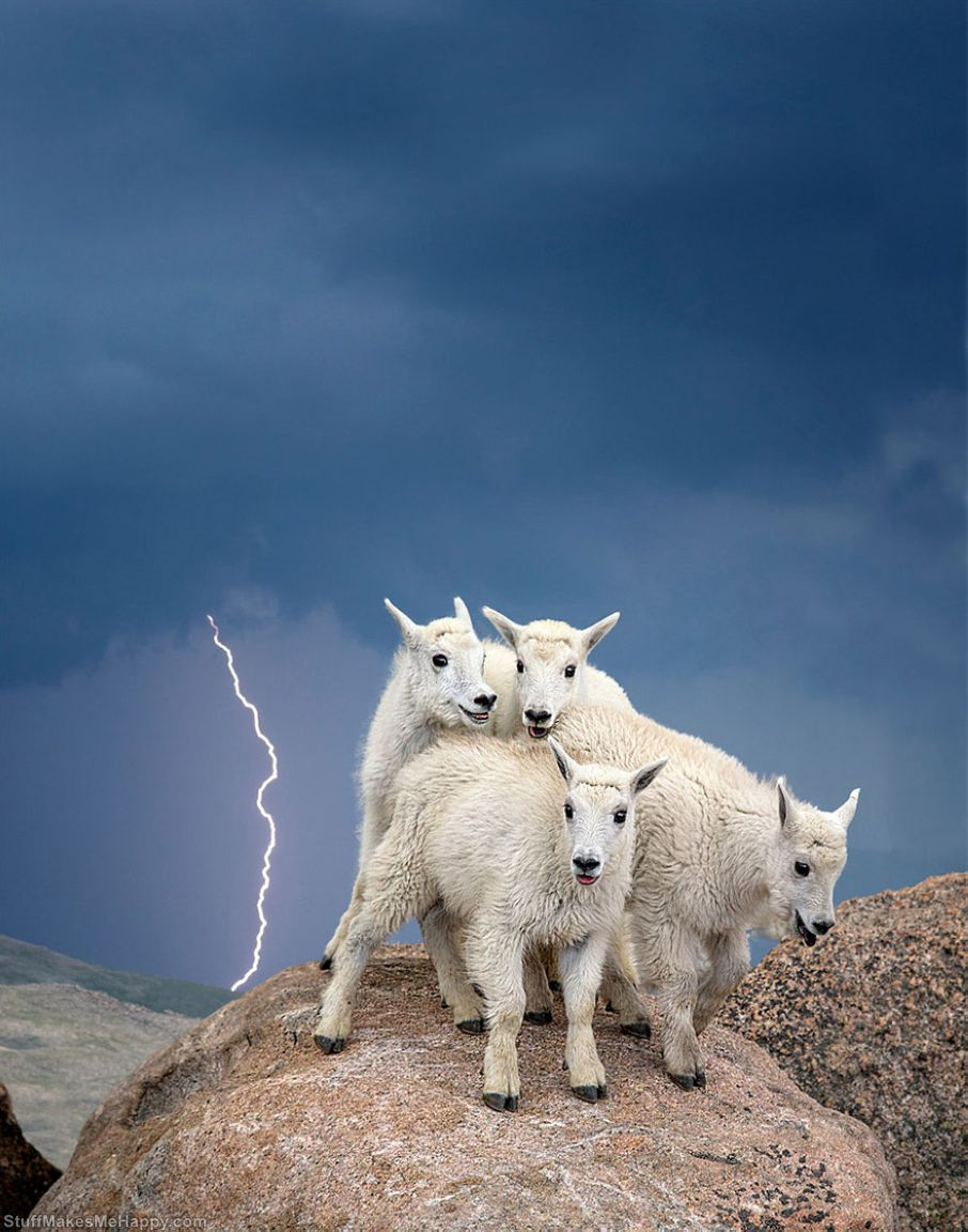 Mountain Goat Kids, Mount Evans Wilderness, Colorado