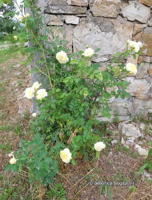 rosa orto erbe aromatiche e officinali nel giardino visitabile della fattoria didattica dell ortica a Savigno Valsamoggia Bologna vicino Zocca in Appennino