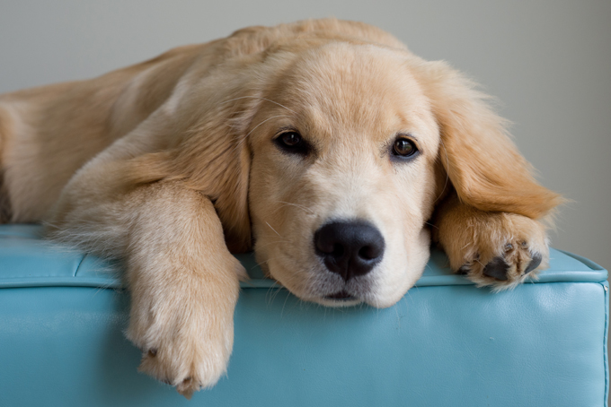Anjing Golden Retriever Penyebab Anjing Tidak Mau Makan Atau