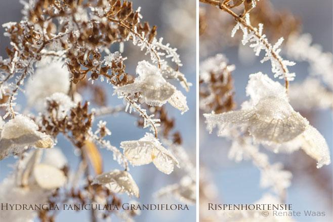 Hortensien - Hydrangea - die im Winter schön sind