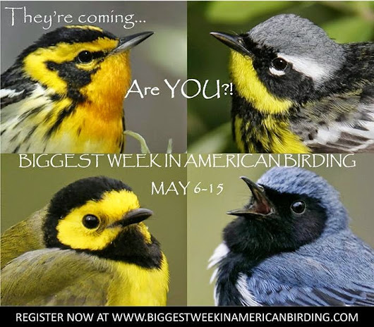 The Southwest Wisconsin Birder: The Biggest Week in American Birding!