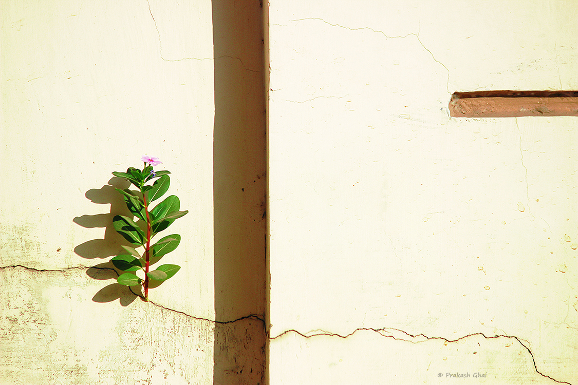 A minimalist photo of A plant prospering in the crack of a wall