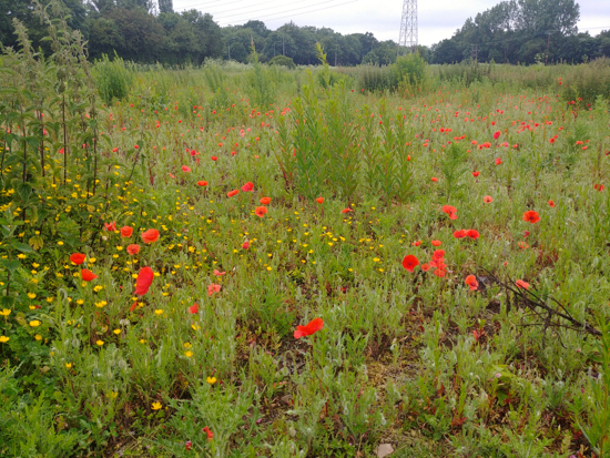Photograph of Poppies in the field described in point 5 below Image by Hertfordshire Walker released under Creative Commons BY-NC-SA 4.0