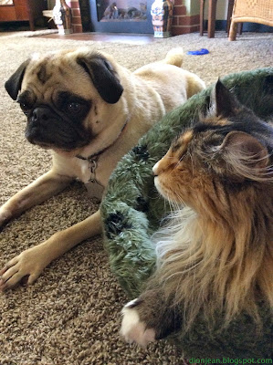 blind cat and pug